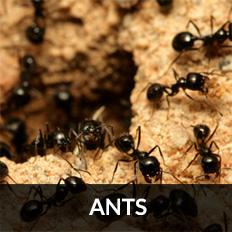 ant control ayrshire pest control glasgow
