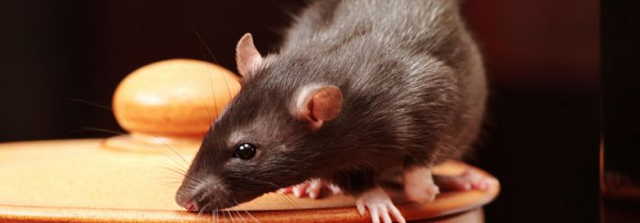 Rat Control: It is not as easy as you thought