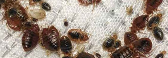How to get rid of bed bug infestations