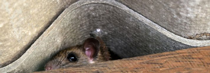 3 amazing tips to keep the pesky rats under control!