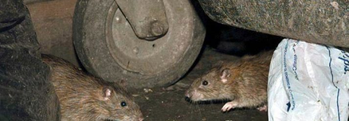 Glasgow rat problem 'alarmingly high' with 6 times more callouts than Edinburgh