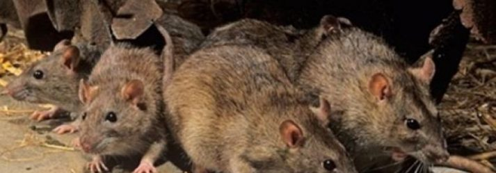 The basics you need to know about rat infestations