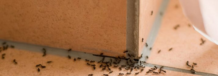 3 Natural Deterrents to Deal with Ant Invasions in Your Home
