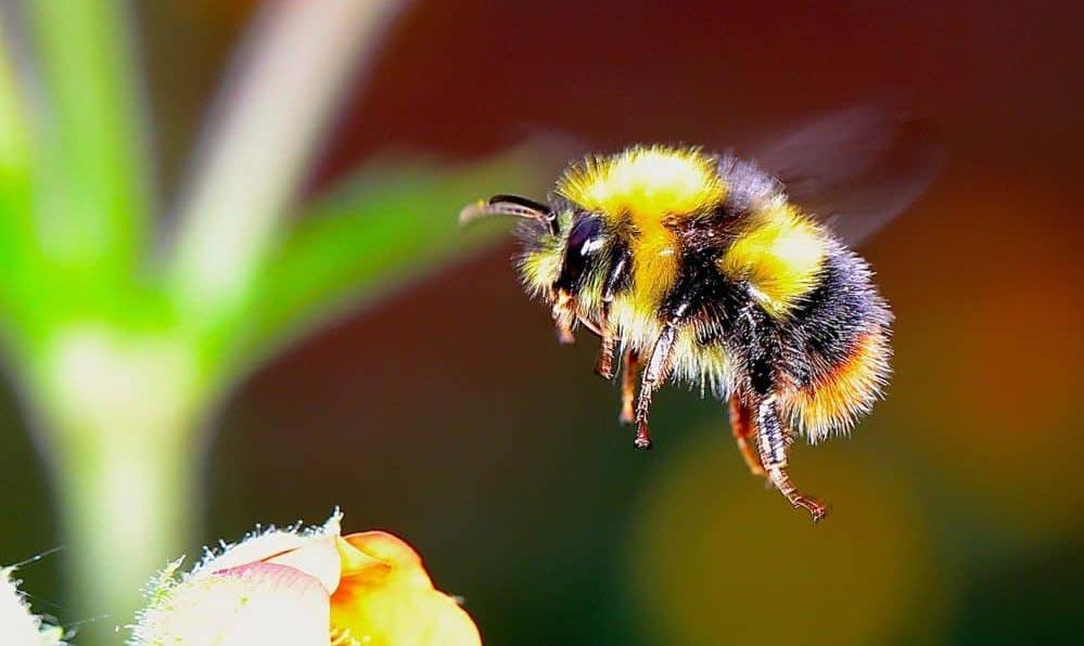 bumblebee glasgow wasp control