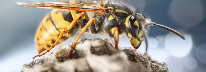 The Difference Between Bees, Wasps, and Hornets