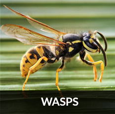 pest control glasgow for wasp removal