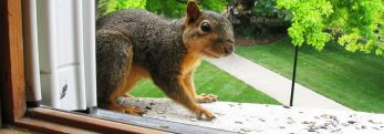 What Makes Squirrels A Pest?