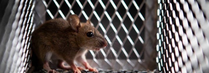 Reasons Why You Should Use Live Rat Traps