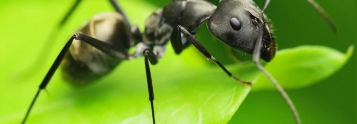 The Springtime Threat Of Common Black Ants