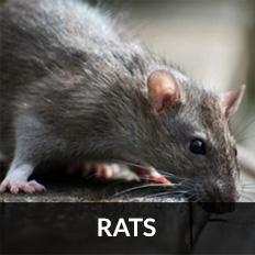 pest control irvine for rats