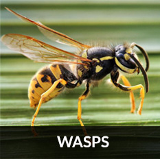 pest control irvine for wasp removal