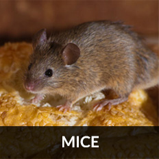 pest control Paisley for mice