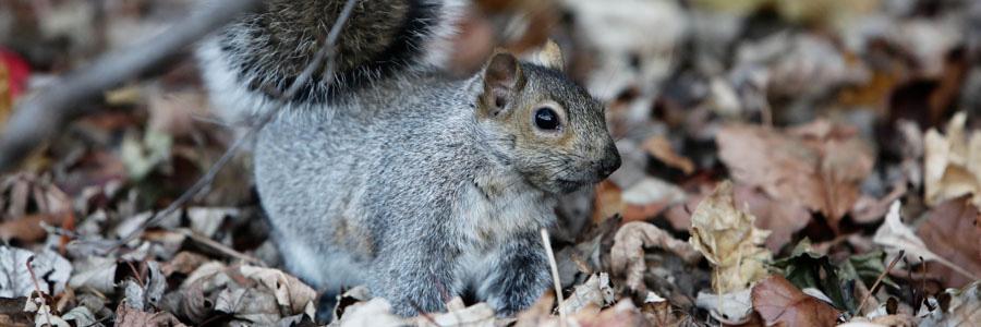 same day pest control for squirrels hamilton