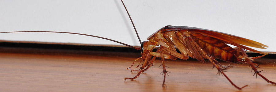 same day pest control for cockroaches greenock
