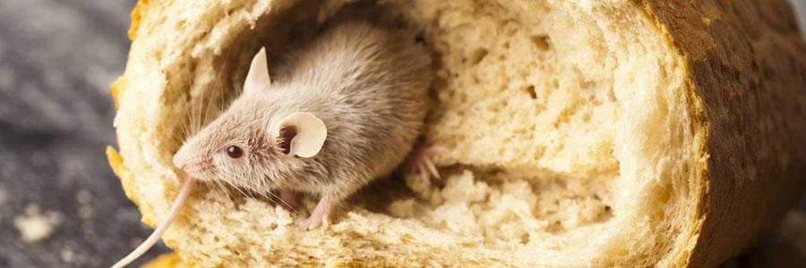 same day pest control for mice greenock