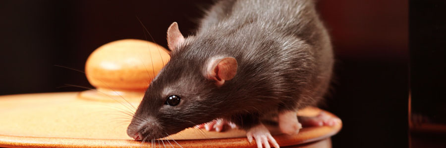 same day pest control for rats greenock