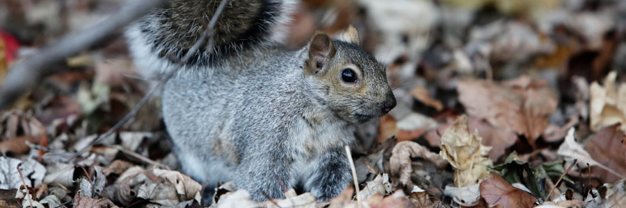 same day pest control for squirrels greenock