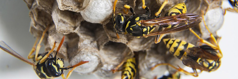 same day pest control for wasps greenock